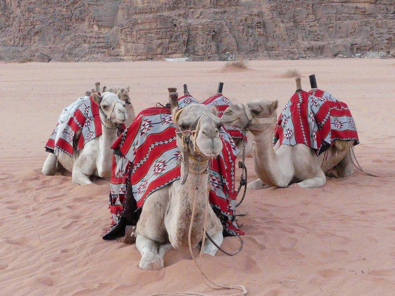Sunrise Camels Photo courtesy of Elizabeth Willoughby